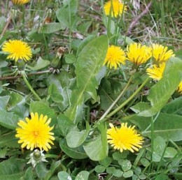 Dandelions are triple good- roots, flower, and leaves