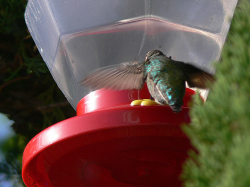 hummingbird eating from the feeder