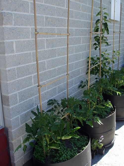 We struggled to grow tomatoes in the south of the South Island of New Zealand until I read about planting tomatoes against a north facing wall.  The wall absorbs the heat of the sun and keep the area close to the wall warm after the sun has gone. The