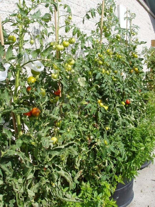 The tomatoes ripened quickly. We are planning to tomatoes on the same spot again and experiment with different varieties.  We also grew tomatoes in polytunnels