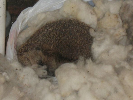 Hedgehog watching me whilst I put the washing out.