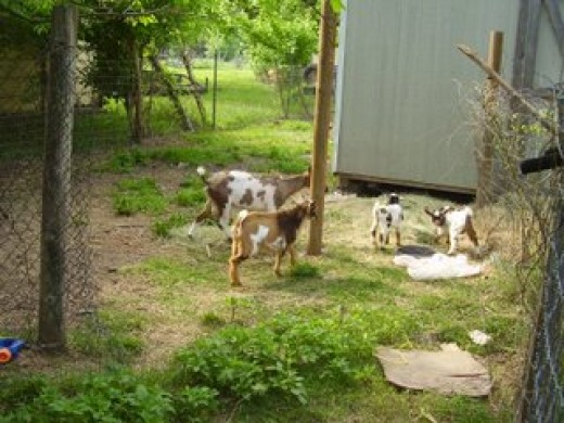 She is let out to graze with the other goats. We feed approximately 3/4 lb of mixed grains twice a day and then hay, and all the grazing they like. Nigerian Dwarf goats are very healthy and easy to care for.