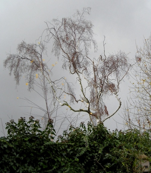 Winter Tree 5 December 2005 The tree looked as though it was dying, but 4 years later, it is still there, still alive