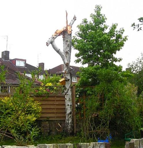 dead silver birch blown down June 2011