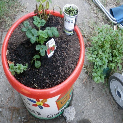 The final Herb Garden with some chillies in a pot and Bob '2' the Basil plant