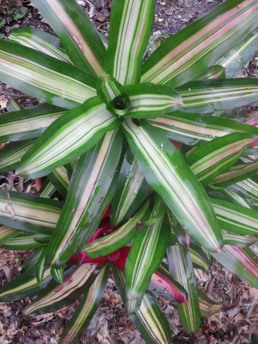 Preparing Bromeliad to come inside for the winter