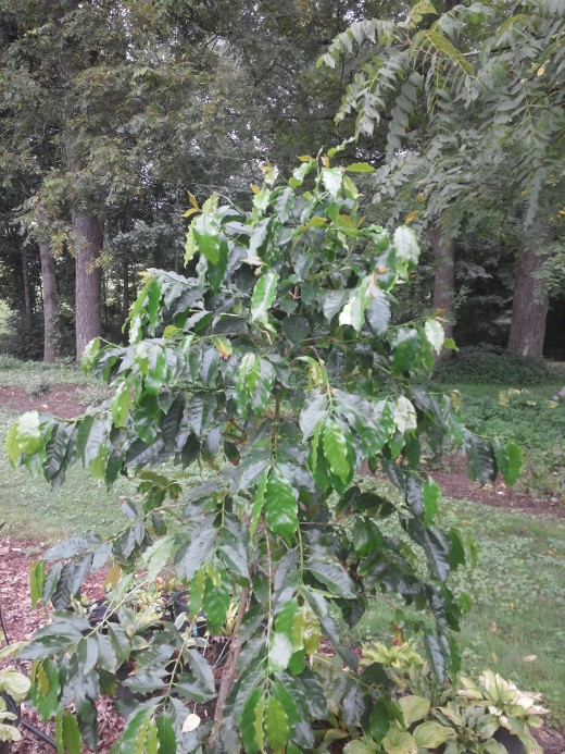 Looking at my coffee tree for large damage