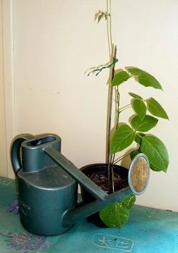 Runner bean sapling