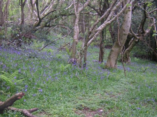 Beautiful bluebells. A week earlier and this area was swathed in yellow celandines.