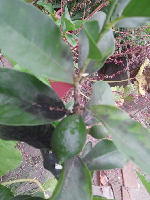 Scale infestation on growing tip of a Bearss Lime.  I hate these things.  Notice the oozing mess they leave