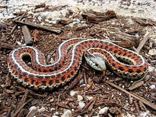 A Coast Garter Snake