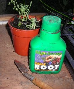 taking cuttings using rooting hormone