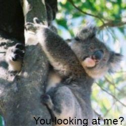 Koala - Wikimedia CC 2.5 Author Cody Pope
