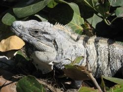 Iguana in Mexico, P.D., via Wikipedia