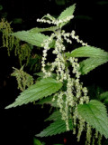 Herbs: Nettle | Growing and Using Nettles