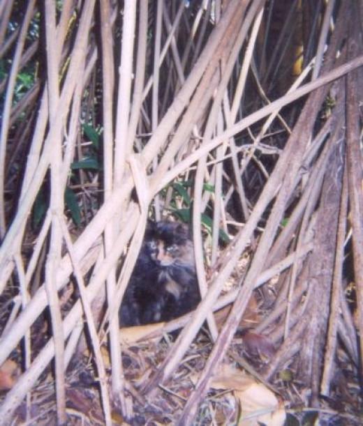 My Pick for Prettiest Hemingway Cat