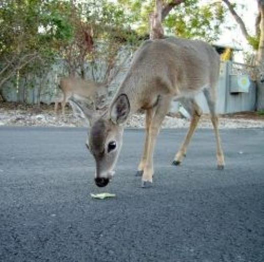 type=Key-Deer-on-No-Name-Key