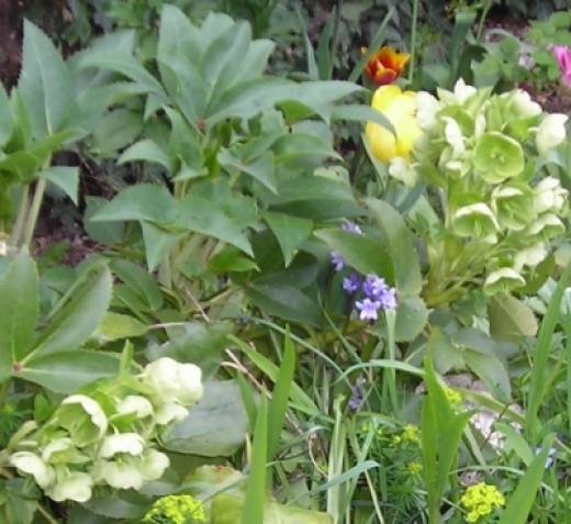 Hellebore in spring (Helleborus argutifolius)