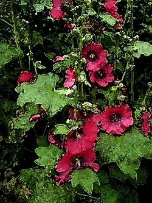 Red Hollyhocks water colour