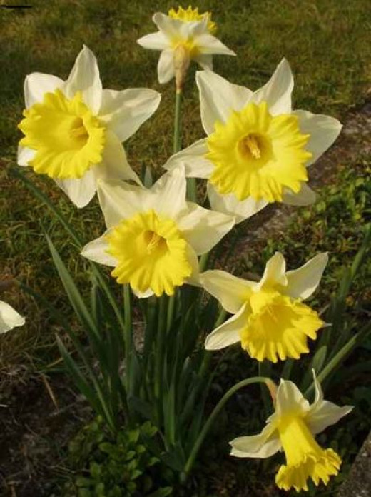 poisonous plant daffodils