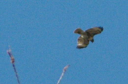Red-tailed Hawk. Way far above the top of the canyon wall, and then some. Not close.