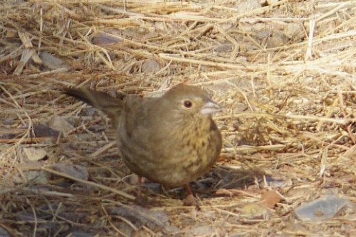 Canyon Towhee. Found in the canyon, natch!
