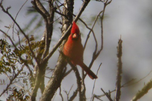 Northern Cardinal. On the other side of the ravine.