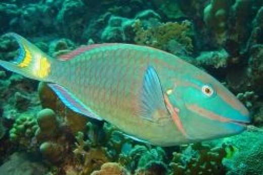 type=Stoplight-Parrotfish