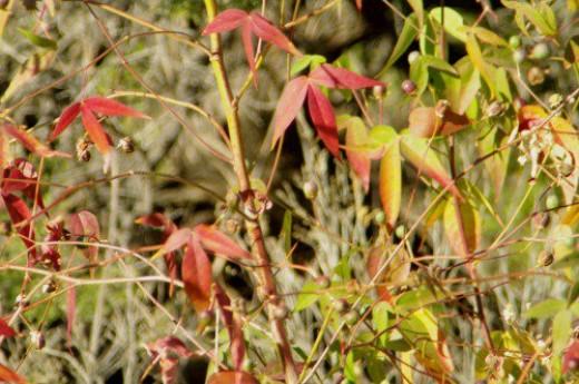 Wild desert cotton, Gossypium thurberi, in fall colors.