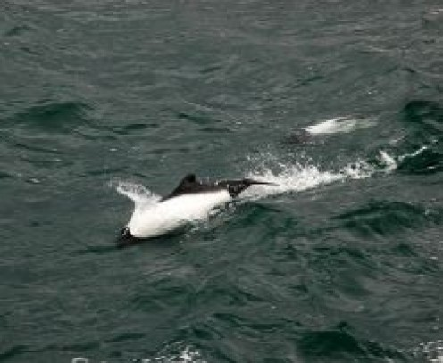 Commerson's-Dolphin