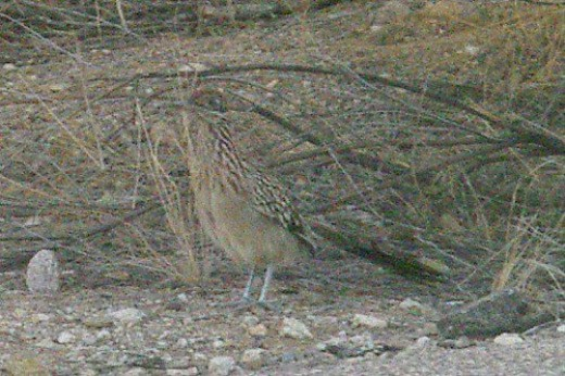 Roadrunner. Taken with my wide angle lens. I cropped a lot.