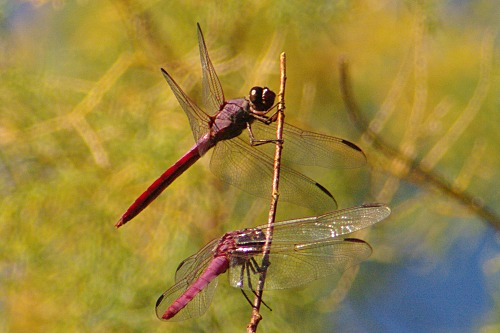 Pair of dragonflies, probably Roseate Skimmers as well.