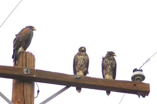 Three Harris's Hawks.