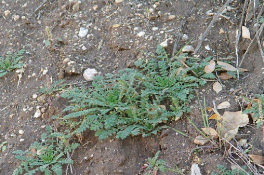 Looks like Cranesbill to me. That's a salad and medicinal plant.