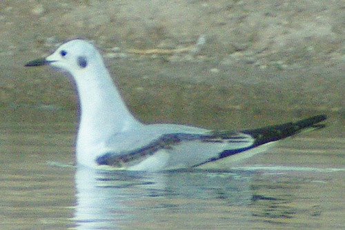 Moving on to the lake, one of the rare occasions I caught a Bonaparte's Gull resting on the water.