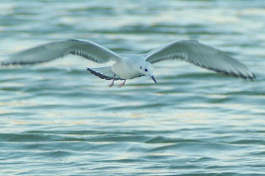 Bonaparte's Gull, flying and looking for food.
