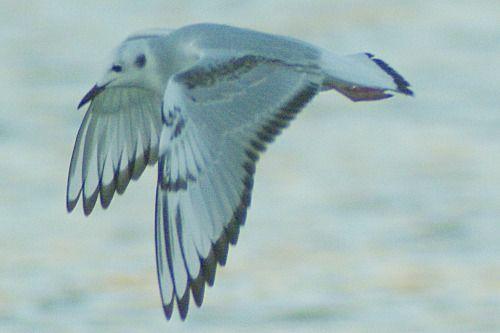 Bonaparte's Gull in flight.