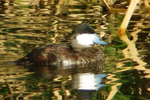 Ruddy Duck. Male. Notice the light blue bill.