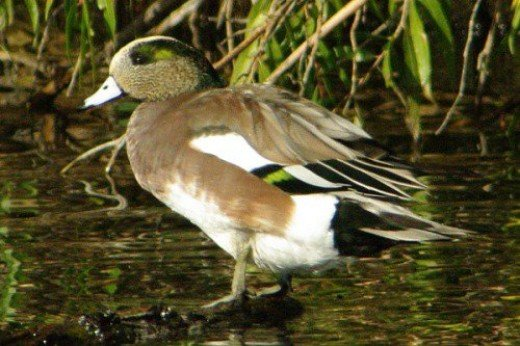 American Wigeon. Male. I love these birds. They have a beautiful soft call.