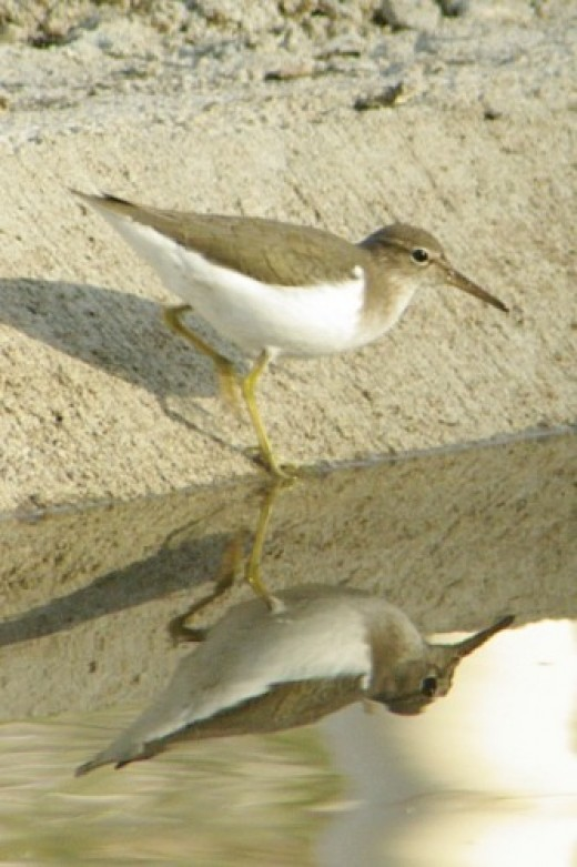 Spotted Sandpiper. He develops the spots during breeding season.