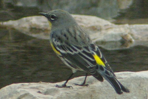 Yellow-rumped Warbler. Male.
