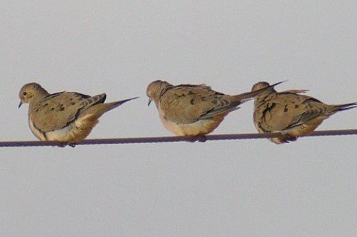 Mourning Doves. There were about 150 of them.