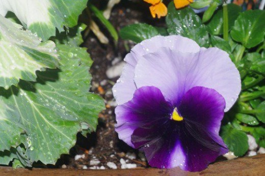 Another pansy