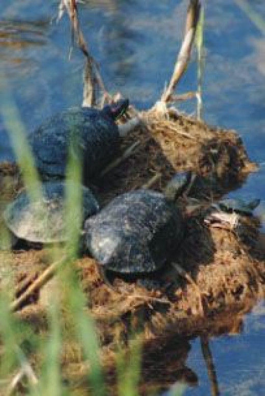 Lake Maurobara is inhabited by three rare species of European water-turtles that belong to the family of 'Testudinata' (Testudo Hermanii Boetgeri, Emys Orbicularis & Mauremys Caspica)' all three of which are endangered and find refuge in the calm