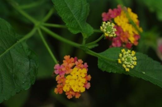 Lantanas. Butterflies love these.