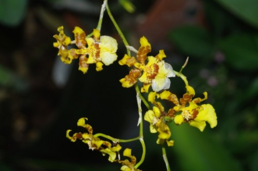 Oncidium Orchid. They resemble dancing ladies with arms, head, and a skirt.