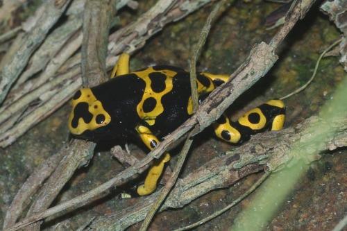 Yellow-banded Frog