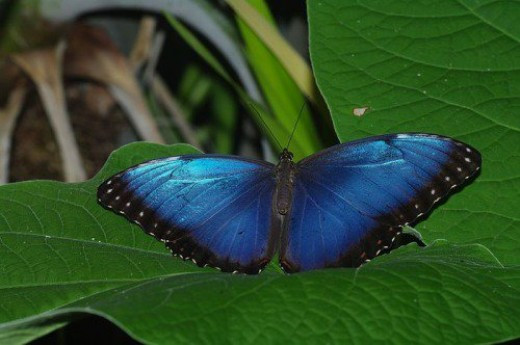 Blue Morpho. Probably everyone's favorite, it usually won't rest with its wings open unless it is damaged.