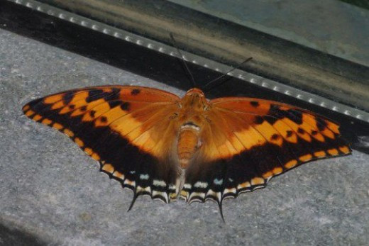 Silver-barred Emperor. A Charaxes from Africa. Not where I wanted him, but you takes what you can gets.