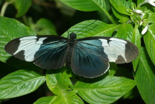 Sapho Longwing. From South and Central America. Some black butterflies will show blue in proper light, and some don't.